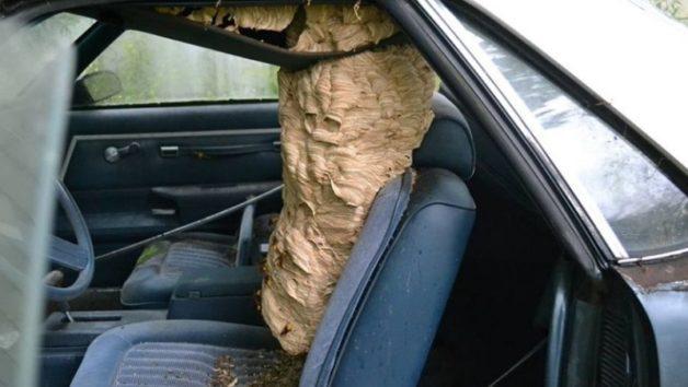 こんなに大きくなるモンスズメバチの巣