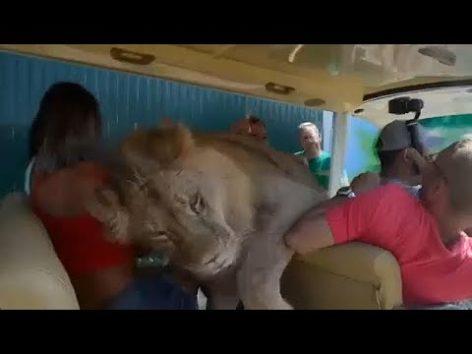 画像:2018/09/05公開YouTube『No Comment TV- Lion climbs into safari car full of tourists in Crimea』のサムネイル