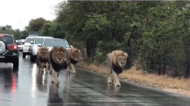 鼻もたてがみも黒。先頭のライオンは王者の風格