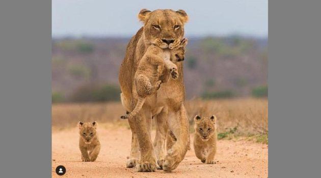 ライオンのママと子供たち