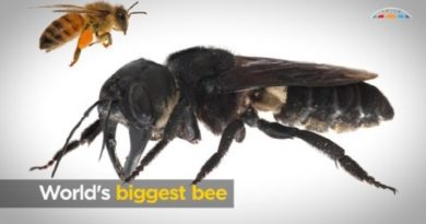 画像:2019/02/21に公開YouTube『Australian Academy of Science-World's biggest bee』のサムネイル