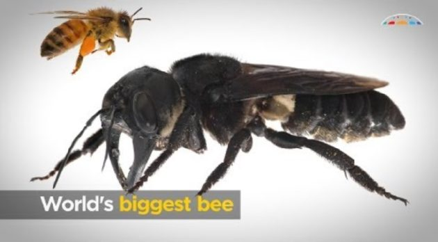 画像:2019/02/21に公開YouTube『Australian Academy of Science-World's biggest bee』のサムネイル