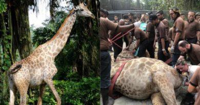 動物園で人々がキリンの出産を楽しみに見守るなか…