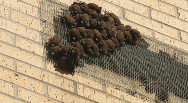 ルイジアナ州北部、南部ともにコウモリ被害に苦悩