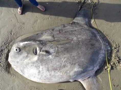 サンタバーバラ群アイラビスタの浜辺に打ち上げられた不思議な魚