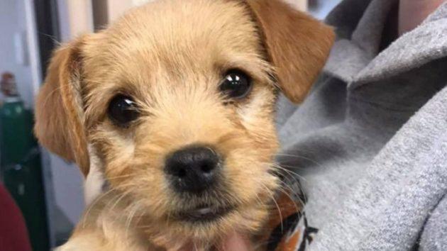子犬、際限なくリブのおやつを食べて死亡