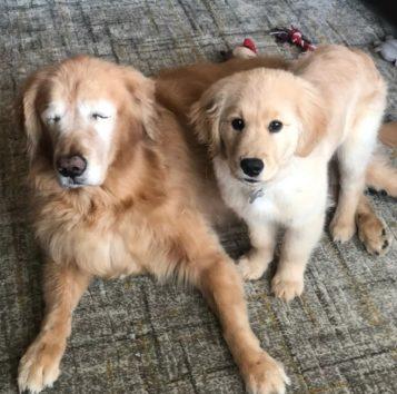 盲目のゴールデンレトリバーと常に一緒にいたがる子犬