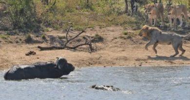 画像:2019/04/09に公開YouTube『Traveller24- All out Kruger battle as buffalo fights lions and crocodile』のサムネイル