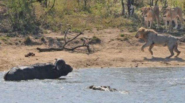 画像:2019/04/09に公開YouTube『Traveller24-All out Kruger battle as buffalo fights lions and crocodile』のサムネイル