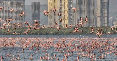 大量のフラミンゴが飛来するムンバイ