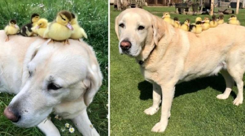 画像:『METRO』Labrador who took in nine orphaned ducklings adopts six more and our hearts are melting(Picture: Mountfitchet Castle/SWNS)