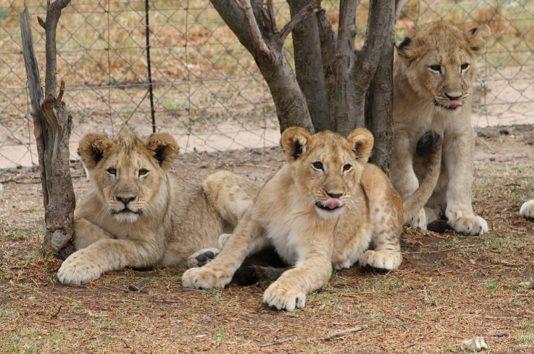 (画像:『Facebook』Weltevrede Lion Farm)