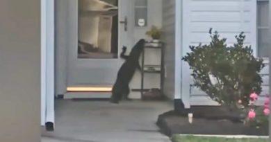 画像:『abc11 Eyewitness News』Ringing reptile: Gator rings doorbell at Myrtle Beach home