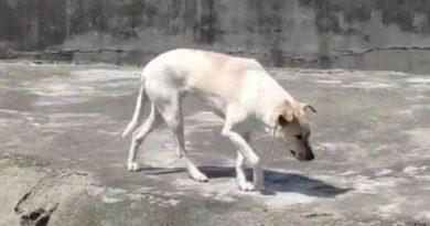 画像:『shanghaiist』Wuhan zoo says it put dog in wolf's cage for companionship, not to deceive visitors