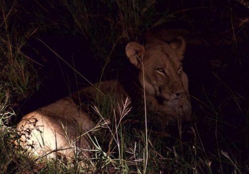 ナイトサファリではライオンの瞳もキリッとしています(Photo by 朝比奈)