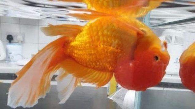 ランチュウ頭が大きくなりすぎ、逆さまに泳ぐように