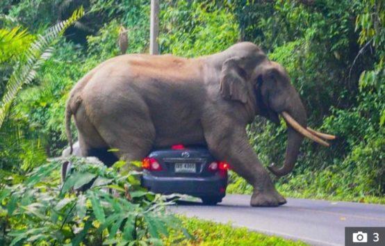ゾウが観光客の車を圧し潰す!