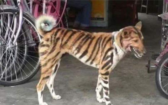 トラとして活躍する犬