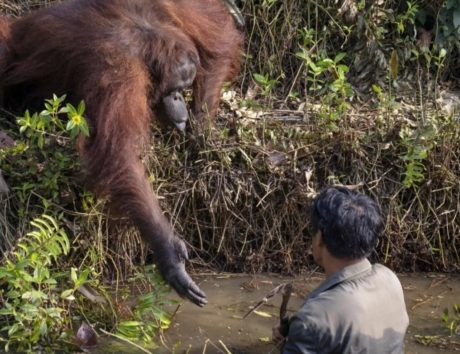 親切なオランウータン画像:『Metro』Orangutan offers to save man's life thinking he had fallen into snake-filled water (Picture: SWNS)