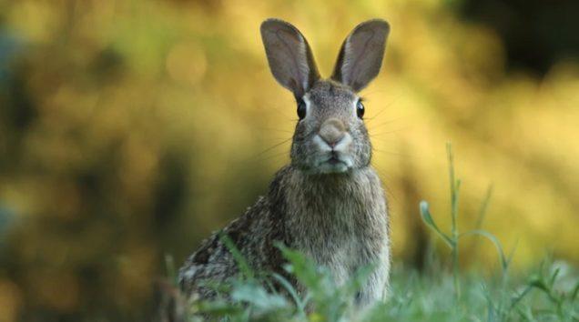 女性はこのウサギをつまみ上げると胴部にかじりつく…(画像はイメージです)