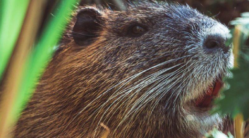 アフター・コロナはネズミが爆発的増加 共食いで肥大し「人食い」も? 米